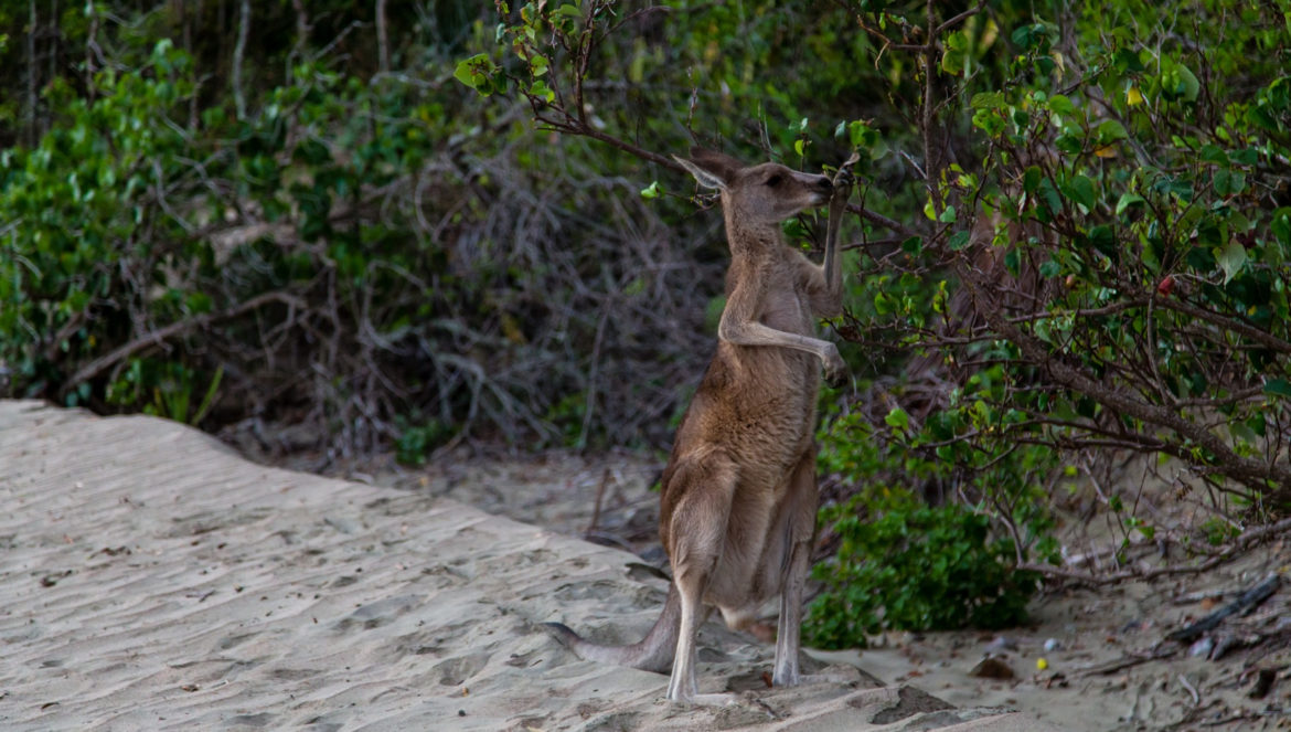 Kænguru